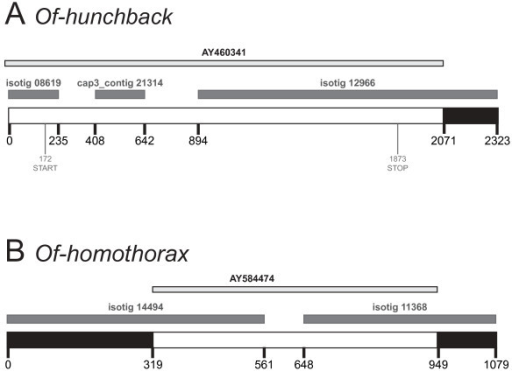 The O. fasciatus transcriptome adds sequence data to existing GenBank accessions, which in turn improves annotation of transcriptome sequences. (A) Extended contig for Of-hunchback (bottom), comprising the complete mRNA GenBank accession (top, light grey), two isotigs and one CAP3 contig from the transcriptome (middle, dark grey). The largest isotig provides an additional 252 bp of 3' UTR sequence to the GenBank sequence (black). Comparison with the GenBank sequence enabled isotig 08619 and cap3_contig 21314 to be assembled into the same contig. (B) Extended contig for Of-homothorax (bottom), with a partial mRNA GenBank accession (top, light grey) and two transcriptome isotigs (middle, dark grey). Both isotigs extend beyond the known GenBank sequence at the 3' and 5' ends, extending the known region by 449 bp in total (black). Both isotigs had been identified as homothorax, and because they did not overlap, they were classified as belonging to the same transcript rather than being paralogs. The GenBank sequence bridges an 87 bp gap between the isotigs, confirming that both sequences are fragments of a single gene.