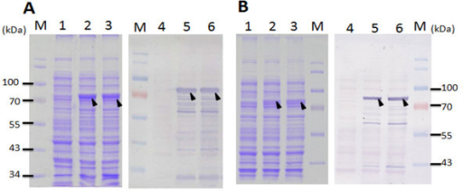 isolation of recombinant escherichia coli iptg Objective: recombinant technology has crucial impact in therapy development in microbial environment, pathogenic organism such as staphylococcus aureus produces.