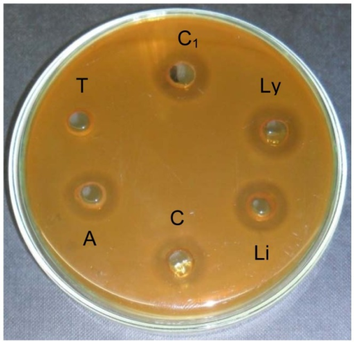 Antimicrobial activity assessed by halo formation of bacteriocin from strain Lb. plantarum 6S treated with enzymes.C1: CFS in Tris-HCl buffer, pH 8.0 (untreated).C: CFS in Phosphate buffer, pH 7.0 (untreated).T: CFS treated with Trypsin (1 mg/ml).A: CFS treated with α-Amylase (1 mg/ml).Li: CFS treated with Lipase (1 mg/ml).Ly: CFS treated with Lysozyme (1 mg/ml).