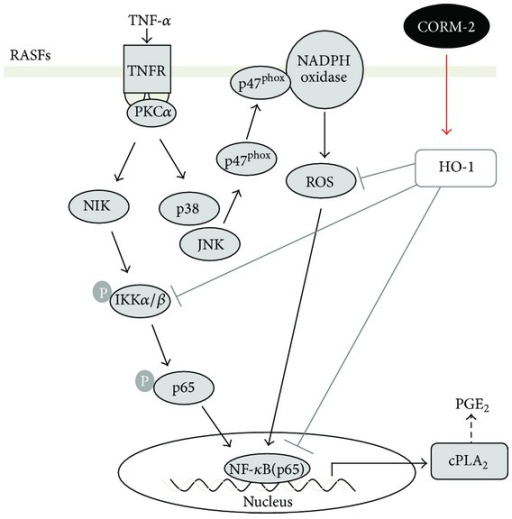 Effects of CORM-2 on the TNF-α-induced cPLA2 expression. TNF-α stimulated NF-κB activation through TNFR1/PKCα/IKKα/β, and p38 MAPK-, JNK-1/2-dependent NOX/ROS pathways resulting in cPLA2 expression in RASFs. The downregulation of TNF-α-induced cPLA2 expression by CORM-2 is mediated by the reduction in NF-κB transcriptional activity and decrease in generation of NOX/ROS.