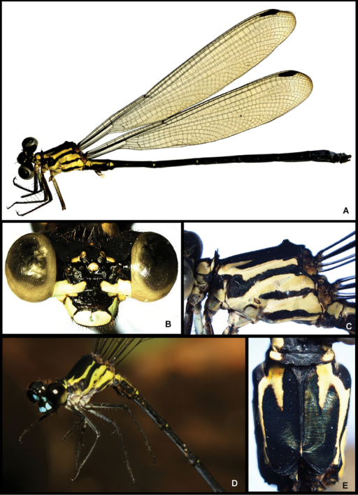 Images of Amphipteryx jaroli (A–E), whole male holotype dead and preserved (A), frontal view head (B), lateral pterothorax (C), life male in the field (D) and dorsal pterothorax (E).