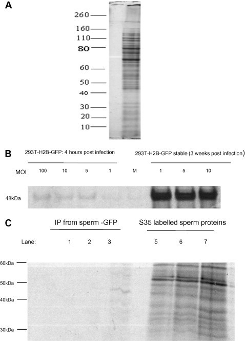 De novo protein synthesis and GFP precipitation from vector transduced spermatozoa. (A) Newly synthesised proteins could be detected following culture of porcine sperm with radioactively labelled methionine. Gel blots were dried to completion onto filter paper, exposed to an X-ray film for 2 weeks and X-ray film developed using an automatic developer. (B) 293T cells were incubated with VSV-g pseudotyped lentivectors (with histone 2b-gfp as the reporter) at MOIs ranging from 1–100 in the presence of 35S labelled methionine for 4 h, GFP could be immunoprecipitated quantitatively with an anti GFP antibody. On the other hand, 293T cells that had been transduced with same vector and propagated for 3 weeks in culture and then subjected to radiolabeling (4 h) and immunoprecipitation with antibody to GFP also revealed the 48 kDa histone2b-gfp marker but did not differ quantitatively. (C) In spermatozoa, GFP could also be immunoprecipitated as seen in lane 3. Mock transduced and protein G beads only (no antibody) controls are in lanes 1 and 2 respectively. Total 35S radiolabelled proteins (from mock, agarose-beads only and vector incubated lysates) prior to immunoprecipitation are represented in lanes 5–7 respectively. Exposure of blots to an auto radiography film was carried out for 2 weeks.