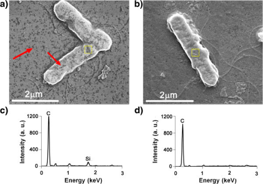 SEM images and EDX spectra of NO/THCPSi NP-treated E.coli. (a) SEM image of NO/THCPSi NP-treatedE. coli, (b) SEM image of the E. coli only,(c) EDX spectrum of NO/THCPSi NP-treated E. coli,and (d) EDX spectrum of untreated E. coli as a control.EDX analysis performed on bacterial surface (yellow overlay). NPs on thebacterial surface and settled on the background are indicated by redarrows.