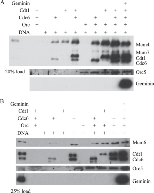 Requirements for recruitment of purified HsMCM complexes to DNA.A, requirements for HsMCM467 recruitment to origin DNA. Magnetic beads containing pUC19-lamin-B2 plasmid DNA were incubated with HsORC or control buffer for 30 min, and then further incubated with HsMCM467 in the presence of HsCdc6 and/or HsCdt1 for 30 min. HsCdt1 was preincubated with control buffer or HsGeminin as indicated. B, requirements for recruitment of HsMCM2–7 to origin DNA. Reaction mixtures were assembled and incubated as described in A, except that HsMCM2–7 was used in place of HsMCM467.