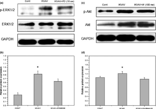 Inhibition evaluation of IKVAV-induced phosphorylation levels of ERK1/2 and Akt by inhibitors of ERK1/2 and Akt signaling pathways in BMMSCs. BMMSCs were treated with 0.5 mmIKVAV after pretreatment of PD98059 (10 μm) or wortmannin (100 nm). Cell extracts were prepared at the end of 24 h co-culture, then p-ERK1/2, p-Akt and total ERK, Akt were determined by western blot analysis. Experiments were performed at least in triplicate (*P < 0.05).
