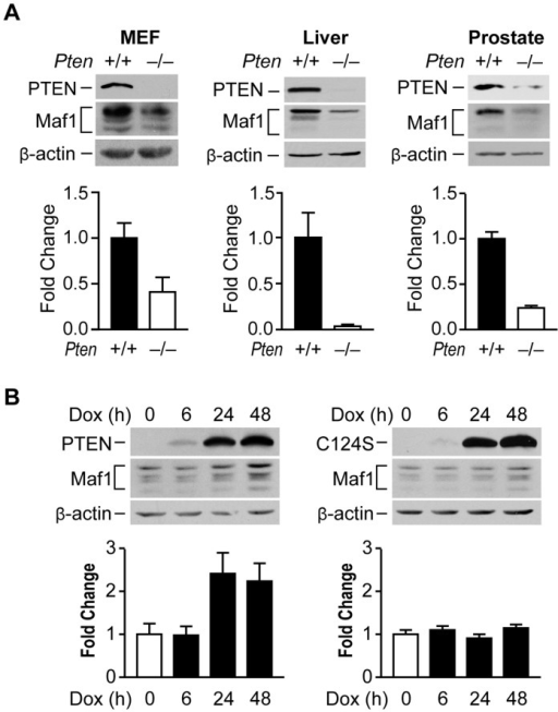 PTEN regulates Maf1 protein expression.(A) Maf1 expression is decreased in mouse cells and tissues lacking PTEN. Protein lysates were isolated from wild-type and Pten−/− MEFs; livers of 1 month old PtenloxP/loxP; Alb-Cre− (+/+; n = 4) and PtenloxP/loxP; Alb-Cre+ (−/−; n = 3) mice; and prostates of 5.2 week old PtenloxP/loxP; PB-Cre+ mice (+/+; n = 3) and PtenloxP/loxP; PB-Cre− littermate controls (−/−; n = 3). Lysates were subjected to immunoblot analysis with antibodies against the proteins indicated. Densitometry analysis revealed statistically significant changes in Maf1 expression (Student t-test, MEF p = 0.0426; liver p = 0.0097; prostate p = 0.0046) (B) Induction of wild type PTEN, but not a phosphatase defective mutant form induces Maf1 expression in cells lacking endogenous PTEN. U87 cells engineered to stably express inducible PTEN or phosphatase defective PTEN-C124S were used. Protein lysates were isolated from cells treated with 1 µg/ml doxycycline at times indicated. Immunoblot analysis was performed using antibodies as indicated. Densitometry analysis revealed significant differences between no doxycycline control and 24 and 48 hr doxycycline treatment (ANOVA, p<0.0001). Maf1 amounts were normalized to β-actin. The graphs represent quantification of 3 independent experiments. Values shown are the means ±S.E.