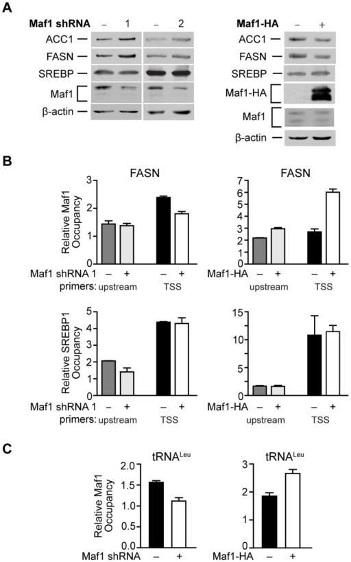 Maf1 occupies the FASN promoter to repress lipogenic gene expression.(A) Maf1 negatively regulates cellular FASN and ACC1 protein expression. Protein lysates isolated from Huh7 cells stably infected with nsRNA or Maf1 shRNAs (left) or HepG2 cells engineered to express doxycycline-inducible Maf1-HA as described in Fig. 4 (right) were subjected to immunoblot analysis using antibodies against ACC1, FASN, SREBP, Maf1, HA (right, ectopic Maf1-HA), or β-actin. (B) Altering Maf1 levels changes occupancy of Maf1 but not SREBP on the FASN promoter. Chromatin immunoprecipitations were performed with Huh7 cells stably expressing Maf1 shRNA or HepG2-doxycycline-inducible Maf1-HA cells. ChIP analysis was performed with antibodies against Maf1, SREBP1c, and IgG. qPCR was performed with an upstream primers set (gray bars) and a set encompassing the transcription start site TSS (black and white bars). Bars represent Maf1 (top) or SREBP1c (bottom) occupancy relative to input and IgG. Maf1 occupancy at the TSS displayed statistically significant differences, Maf1 siRNA compared to non-silencing control, p = 0.001, and doxycycline versus no doxycycline treatment, p = 0.0001. (C) Altering Maf1 levels changes Maf1 occupancy at the tRNALeu gene promoter. ChIP analysis was performed as in (B) with primers specific for the tRNALeu promoter. Values shown for all graphs are the means ±S.E. (n = 4); Student t-test, Maf1 shRNA p = 0.0026, Maf1-HA p = 0.0013.