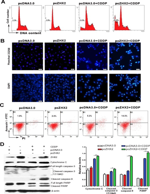 Increased ZHX2 levels in HepG2 cells enhance CDDP-induced apoptosis and activate the caspase pathwayHepG2 cells transfected with pcDNA3.0 or pcZHX2 were treated with CDDP for 24 hours. (A) Cells were incubated with PI and analyzed by flow cytometry. The percentage of cells with fragmented DNA (sub-G1 peak) are shown. (B) Staining of cells with Hoechst 33258 (upper images) and DAPI (lower images). Bars, 50 pixel. (C) Flow cytometry after staining with PI and Annexin V to determine the percentage of Annexin V-stained cells. (D) Western blot analysis to determine levels of ZHX2, Cytochrome C, full-length and cleaved caspase 3, cleaved caspase 9, full-length and cleaved PARP, and β-actin. Western blot data from three independent experiments are quantitated in the right panel, with levels if indicated protein shown relative to β-actin. *p < 0.05,**p < 0.01, ***p < 0.001.