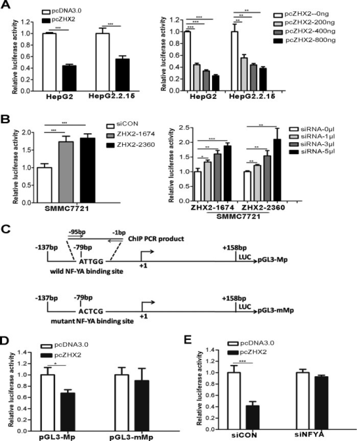 ZHX2 represses MDR1 promoter activity via NF-YA-dependent interactions(A) HepG2 and HepG2.2.15 cells were co-transfected with pGL3-Mp along with pcDNA3.0 or pcZHX2 (left panel) or with pGL3-Mp and increasing amounts of pcZHX2 (right panel). (B) SMMC7721 cells were transfected with pGL3-Mp and siCON or ZHX2 siRNAs (left panel) or with pGL3-Mp and increasing amounts of ZHX2 siRNAs (right panel).(C) Diagram of the wild type and mutant type MDR1 promoters, showing the location of the Y box and the mutation used to generate pGL3-mMp. (D) HepG2 cells were co-transfected with pGL3-Mp or pGL3-mMp along with pcDNA3.0 or pcZHX2.(E) HepG2 cells were co-transfected with pGL3-Mp and pcDNA3.0 or pcZHX2(Left). In addition, cells were also transfected with siCON or NF-YA siRNA (siNF-YA, Right). Data are shown as the mean ± SD (n≥3); *p < 0.05, **p < 0.01,***p < 0.001.