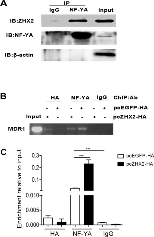 ZHX2 interacts with the MDR1 promoter via NF-Y(A) Co-IP of NF-YA and ZHX2 after transfection. pcZHX2 plasmid was transfected into HepG2 cells, followed by immunoprecipitations performed as the methods. (B and C) ChIP analysis of DNA from HepG2 cells transfected with pcEGFP-HA or pcZHX2-HA. (B) Conventional PCR amplification of DNA was performed with primers specific to the MDR1 promoter after immunoprecipitation with anti-HA, anti-NF-YA or IgG (control). (C) DNA enrichment was analyzed at the MDR1 promoter by real-time PCR and the results are presented as fold of enrichment over input. Data are shown as the mean ± SD (n=3); ***p < 0.001.