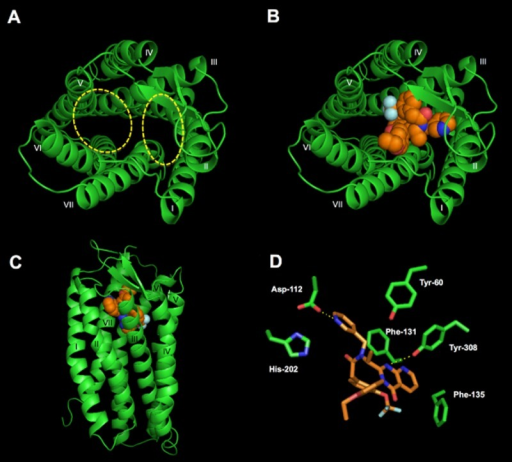 Ab initio modelling of CXCR3 and docking of VUF 10085 into the minor binding pocket. (A and B) Top views of a model of human CXCR3 (green) predicted using the software MembStruk. Panel A shoes the major and minor binding pockets, while panel B shows VUF 10085 (orange, space-filled) residing in the minor binding site predicted using Glide XP. Panel C shows a side view of the docked antagonist. Panel D shows key interactions of CXCR3 side chains with the compound. Hydrogen bonds between Asp-1122.63 and Tyr-3087.43 of CXCR3 with VUF 10085 are denoted by a dashed yellow line. Roman numerals refer to the seven TM helices.