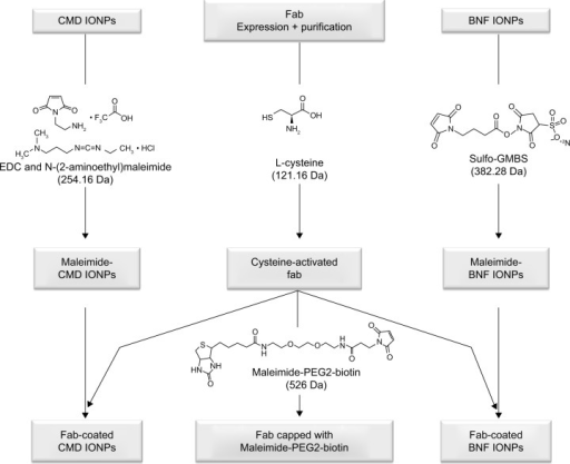 Schematic of workflow for fab and IONP functionalization.Notes: Monomeric Ffab and Bfab are subjected to reduction/activation using 20 mM cysteine followed by conjugation with maleimiede-PEG2-biotin or maleimide-activated IONPs. Two IONP types were examined in this study: Dartmouth CMD and commercial BNF, which were functionalized with maleimide groups using EDC and N-(2-aminoethyl) maleimide, or sulfo-GMBS, respectively.Abbreviations: IONP, iron oxide nanoparticle; fab, an engineered monoclonal antibody fragment; Ffab, Farletuzufab, engineered from monoclonal antibody Farletuzumab; Bfab, anti-botulinum toxin fab fragment; PEG2, polyethylene glycol 2; CMD, carboxymethyl-dextran; BNF, bionized nanoferrite; EDC, 1-ethyl-3-(3-dimethylaminopropyl) carboiimide; sulfo-GMBS, N-(γ-maleimobutyryloxy) sulfosuccinimide ester.