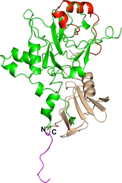 Structure of domains 1 and 2 of PkAMA1 in the non-complexed form.The structure of PkAMA1 (molecule B) is shown in ribbon representation with Domain 1 in green and Domain 2 in light brown. The Domain 2 loop is shown in red and the c-myc tail is shown in mauve. The N- and C-termini are indicated by N and C, respectively. A gap occurs within the D2 loop since the protein could not be traced from residues Gly328 to Ser332.