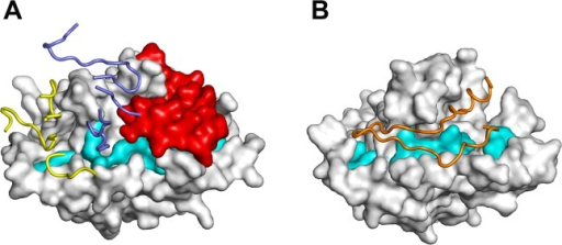 Mechanism of receptor-binding inhibition by monoclonal antibody R31C2.(A) R31C2 blocks interaction of the RON2 receptor by occupying the hydrophobic groove and preventing movement of the D2 loop. PkAMA1 is shown in surface representation with Domain 1 residues lining the hydrophobic groove that are invariant or well conserved across species [18] shown in cyan and the D2 loop shown in red. The CDR residues of R31C2 are shown in ribbon representation; those of VH are blue and those of VL are yellow. (B) Structure of PfAMA1 complexed with the PfRON2 peptide (PDB entry 3ZWZ) [28]. PfAMA1 is shown in surface representation and in the same orientation as PkAMA1 in (A). Species-conserved residues of Domain 1 that line the hydrophobic groove are shown in cyan. The displaced D2 loop is not visible in this structure, probably due to high mobility. Binding of the PfRON2 peptide, shown here in orange as ribbon representation, requires displacement of the D2 loop to expose the complete receptor-bing site.