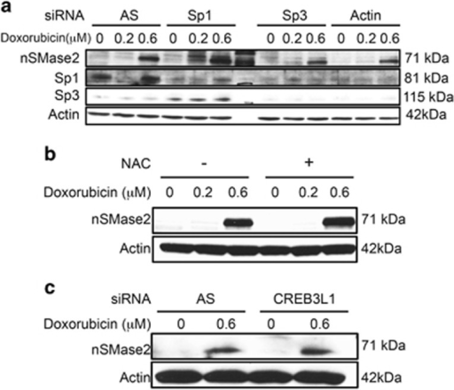 nSMase2 upregulation is independent of known transcriptional regulators of nSMase2. (a) MCF7 cells were seeded in 60 mm dishes and transfected with siRNA to AllStars Negative Control (AS), Sp1, Sp3 or both together. After 24 h, cells were treated with vehicle, and 0.2 or 0.6 μM doxorubicin. After 24 h, cells were collected and immunoblotted for nSMase2, Sp1, Sp3 and actin. (b) MCF7 cells were seeded in 60 mm dishes. One hour before stimulation with doxorubicin or vehicle, they were pretreated with N-acetylcysteine (NAC). Cells were collected and immunoblotted for nSMase2 and actin. (c) MCF7 cells were seeded in 60 mm dishes and transfected with siRNA to AS or CREB3L1. After 24 h, they were treated with vehicle or 0.6 μM doxorubicin. Cells were collected and immunoblotted for nSMase2 and actin