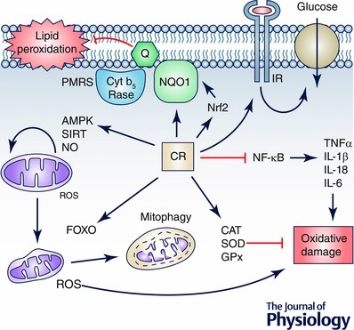 Resumé of CR effects on cellsCR induces many pathways that are involved in changes in mitochondrial physiology by activating AMPK‐ and SIRT‐dependent pathways and inducing mitochondrial turnover by balancing mitochondrial biogenesis with induction of mitophagy of damaged mitochondria. This regulation reduces the production of ROS by damaged mitochondria, thus reducing oxidative damage. This damage is also reduced by the induction of cell antioxidant activities such as CAT, SOD and GPx and by preventing the activation of proinflammatory processes by blocking the NFκB pathway. On the other hand, the role of plasma membrane redox system regulation in the CR effect on cells remains to be clarified but it seems that in aged cells and tissues the induction of this system by activation of Nrf2 not only prevents lipid peroxidation in membranes but can also regulate the response to external factors such as local factors or insulin. We cannot discard a putative role of this system in the regulation of the insulin response preventing insulin‐resistance in aged cells.