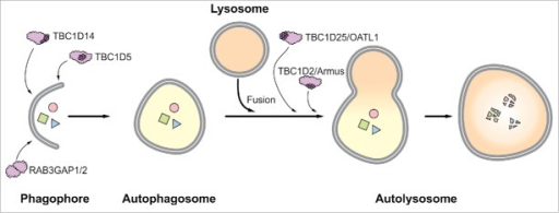 Schematic representation of RAB GAPs established to function in macroautophagy. TBC1D5, TBC1D14, and RAB3GAP1/2 function during autophagosome formation, and TBC1D2 and TBC1D25 support autophagosome-lysosome fusion. The TBC domain is depicted by dark purple globules. Note that this domain is missing in the heterodimeric RAB3GAP complex.