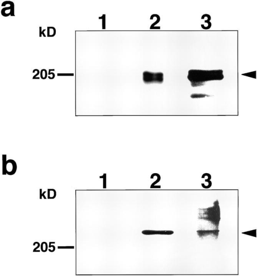 Coimmunoprecipitation of Fam with AF-6. MDCKII  cells were lysed and solubilized with buffer C (see Materials and  Methods). This sample was incubated with preimmuneserum  (lane 1), with anti-Fam antibody (K2; lane 2), or with anti-AF-6  antibody (#3; lane 3). The immunocomplexes were then precipitated with protein A-Sepharose 4B, and subjected to immunoblot  analysis using anti-AF-6 antibody (#4; a) or anti-Fam antibody  (N20; b). The arrowheads denote the positions of AF-6 (a) and  Fam (b), respectively. The results shown are representative of  three independent experiments.