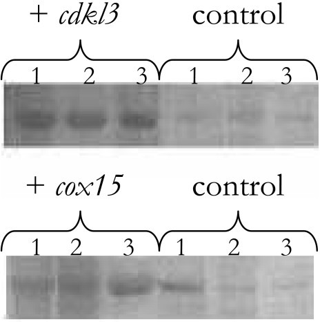 Western blot analysis for several different cell lines indicating relative expression levels. These cells were derived from 3 different colonies that had already been screened and selected for expression of the transfected plasmid. At the time of analysis, these cells had been grown for over 6 days, post-transfection. The control cells were transfected with blank plasmids. 1 – HeLa 2 – HEK-293 3 – CHO