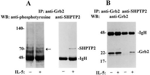 Coimmunoprecipitation of SHPTP2 and Grb2 in IL-5–stimulated eosinophils. (A) Cell lysates from IL-5–stimulated and unstimulated  eosinophils were immunoprecipitated (IP) with anti-Grb2 antibody. IL-5  (−) and (+) indicate cells incubated with medium or IL-5 for 5 min, respectively. Immunoblotting with antiphosphotyrosine antibody revealed a  70-kD protein, suggesting the presence of SHPTP2 in the immunoprecipitate of Grb2 (left). Western blotting with anti-SHPTP2 antibody confirmed the identity of the phosphatase. (B) Eosinophils lysates were immunoprecipitated with anti-Grb2 antibody and anti-SHPTP2 antibody.  Western blotting with anti-Grb2 antibody revealed the presence of Grb2  in its own immunoprecipitates as well as in immunoprecipitates of  SHPTP2 from IL-5–stimulated eosinophils.
