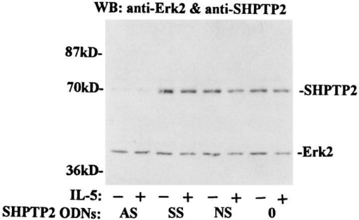 Effect of SHPTP2 oligodeoxynucleotides on SHPTP2 and  Erk2 expression. Whole cell lysates were prepared from eosinophils  treated with 7.5 μM SHPTP2 antisense (AS), sense (SS), and nonsense  (NS) ODNs or medium (0 ) for 6 h. The lysates with 10 μg of protein/lane  were resolved by SDS-PAGE. Anti-SHPTP2 and anti–Erk-2 Abs were  used in Western blot analysis to assess expression of proteins. Pretreatment  with SHPTP2 antisense ODN, but not with SS or NS, significantly decreased expression of SHPTP2 in eosinophils. Lower p42 band shows equal  amounts of Erk2 kinases not affected by treatment with ODNs.