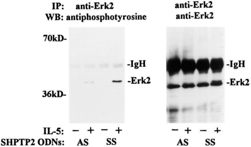 SHPTP2 antisense oligodeoxynucleotides inhibit IL-5– induced tyrosine phosphorylation of MAP/Erk2 kinase. Eosinophils were  cultured in the presence of 7.5 μM SHPTP2 antisense (AS) or sense (SS)  ODNs for 6 h, and then stimulated with IL-5 for 10 min. The cell lysates  were immunoprecipitated with anti-Erk2 Ab, resolved by SDS-PAGE,  and immunoblotted by an antiphosphotyrosine mAb (left) followed by  reprobing with anti-Erk-2 Ab (right). An increase in tyrosine phosphorylation of Erk2 was observed in eosinophils pretreated with sense ODN,  whereas pretreatment with antisense SHPTP2 significantly inhibited  IL-5–induced phosphorylation of MAP/Erk2 kinase. The blot is representative of three independent experiments.