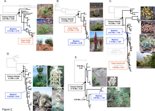 Phylogeny and age estimate of five flowering plant groups in the Macaronesian Islands.(A) the woody Sonchus alliance (Asterids, Euasterid II, Asterales) (species in the pictures, from top to bottom; Sonchus gandogeri*, S. acaulis*, and S. canariensis*) . (B) Echium (Asterids, Euasterid I, unplaced) (species in the pictures; Echium auberianum†, E. callithyrsum*, and E. wildpretii†). (C) the Aeonium alliance (Saxifragales) (species in the pictures; Aichryson punctatum ∏, Monanthes muralis∏, Greenovia aurea*, and Aeonium cuneatum∏). (D) Sideritis (Asterids, Euasterid I, Lamiales) (species in the pictures, top left, Sideritis gomerae¶; top right, S. macrostachys¶; bottom row, S. eriocephala¶). (E) Crambe (Rosids, Eurosid II, Brassicales) (species in the pictures; Crambe scaberrima§ and C. pritzelii§). Branch colors: gray, closest continental relatives; black, the Canary Islands; blue, Madeira; red, Cape Verde. Branch lengths are proportional to changes on the trees and outgroup taxa are not shown. (photo credits: *Seung-Chul Kim, †Jose Mesa, ¶Janet C. Barber, §Manuel Luis Gil González, and ∏Mark Mort).