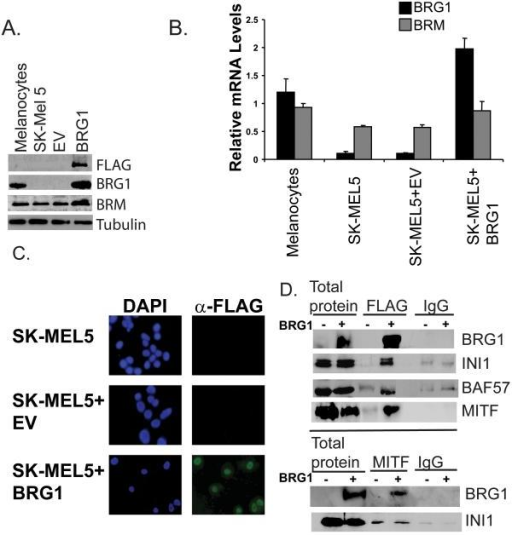 A. Detection by Western blotting of ectopically expressed FLAG-BRG1 protein in BRG1 deficient SK-MEL5, SK-MEL5+empty vector (EV), or SK-MEL5+BRG1. FLAG-tagged BRG1 was detected with an antibody to the FLAG epitope and an antibody to BRG1. BRM levels in BRG1 deficient and BRG1 expressing cells were also probed. Tubulin is a loading control. B. Detection of ectopically expressed FLAG-BRG1 and BRM mRNA levels by real-time RT-PCR. BRG1 and BRM mRNA levels were standardized to 18S rRNA and are shown relative to those in melanocytes. C. Detection of FLAG-BRG1 by immunocytochemistry using a FLAG antibody. D. Coimmunoprecipitation of SWI/SNF components and MITF in BRG1 deficient and BRG1 expressing SK-MEL5 cells. Top panel: Cell lysates were immunoprecipitated with M2-FLAG agarose or control mouse IgG and blotted with the indicated antibodies. Bottom panel: Cell lysates were immunoprecipitated with MITF hybridoma supernatant or control mouse IgG and blotted with the indicated rabbit antibodies.