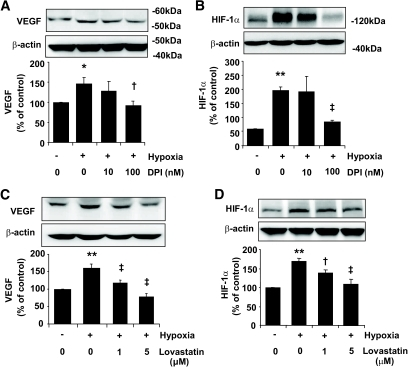 Downregulation of HIF-1α and VEGF expression by NADPH oxidase inhibitor or lovastatin in RCECs. Bovine RCECs were pretreated with DPI (A and B) for 4 h or lovastatin (C and D) for 24 h followed by exposure to hypoxia for 16 h. Expression of VEGF (A and C) and HIF-1α (B and D) was determined by Western blot analysis and quantified by densitometry. Results were expressed as means ± SE. (n = 3). *P < 0.05; **P < 0.01 vs. normoxia; †P < 0.05; ‡P < 0.01 vs. hypoxia.