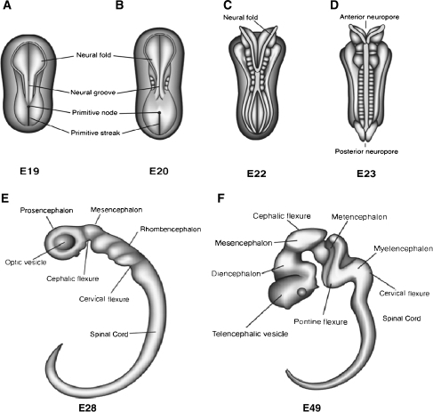 Changes in the morphology of the embryo in the embryoni