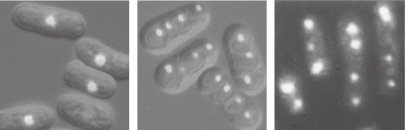 Ectopic meiosis induced artificially by either inactivation of Pat1 kinase or dephosphorylation of Mei2. Even haploid cells execute meiotic divisions and produce spores, in which chromosomes are distributed unevenly, under these conditions. Left panel: haploid cells in the mitotic cell cycle, shown as a control. Middle panel: pat1-114 cells incubated at the restrictive temperature. Right panel: cells expressing an unphosphorylatable form of Mei2 (Mei2-SATA). Bright regions represent DNA stained with a fluorescent dye. Phase-contrast images are overlaid in the left and middle panels.