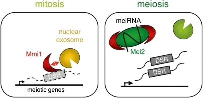 Function of the Mei2 dot as the mitosis–meiosis switch. Left panel: a number of meiosis-specific transcripts in fission yeast harbor a region designated the DSR. The DSR renders the selective elimination of these mRNAs if they are expressed during the mitotic cell cycle. Mmi1, a YTH-family RNA-binding protein localized in the nucleus, binds to the DSR and promotes the elimination of the corresponding transcript in cooperation with the RNA-degradation machinery exosome. Right panel: to promote meiosis, Mei2, which has an affinity for Mmi1, forms a dot structure in the nucleus together with meiRNA. Mmi1 is thereby sequestered to this structure so that meiosis-specific transcripts are shielded from Mmi1-dependent mRNA elimination and can function stably. Reproduced from Ref. 67 with some modifications.