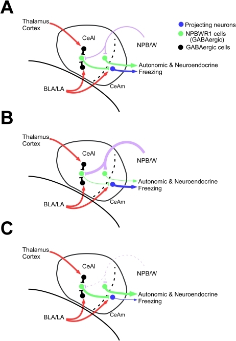 Schematic model of regulatory mechanism by which neuropeptide B/W regulates activity of amygdala neurons.(A) NPB or NPW acts on NPBWR1 expressed on projection neurons in the CeAl, which could signal to the brain stem and BST to elicit emotion-related autonomic and neuroendocrine responses. Some GABAergic interneurons in the CeAl also express Npbwr1. Therefore, NPB/W signaling could modulate amygdala function in multiple pathways. (B) When the NPB/W system is activated, some of the projection neurons in the CeAl might be inhibited, while other projection neurons might be disinhibited through inhibition of GABAergic interneurons. For example, output to autonomic/neuroendocrine pathways could be inhibited, while behavioral output might be activated. (C) NPB/W system dysfunction may result in exaggerated autonomic/neuroendocrine responses along with impaired behavioral response.