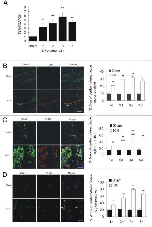 TLR4 mRNA and protein expression after ICH. A) Real-time RT-PCR shows an upregulation of TLR4 mRNA expression in perihematoma tissues in WT mice (n = 6) on days 1, 2, 3, and 5 post ICH. B) TLR4 co-labeling with tubulin-positive neuron (arrows, n = 6). C) TLR4 co-labeling with GFAP-positive astrocytes (arrows, n = 6). D) TLR4 co-labeling with CD11b-positive microglia. Compared to sham control mice (n = 6), ICH induced significant increase in TLR4 protein. *P < 0.05, **P < 0.01 vs. sham control. Values (mean ± SD) are representative of two independent experiments. Bar = 20 μM.
