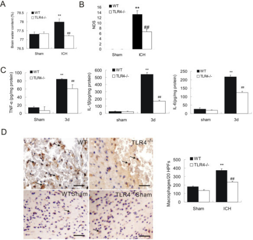 TLR4−/− mice displayed attenuated brain injury and decreased neuroinflammation. TLR4−/− had decreased brain water content (A, n = 3) and decreased NDS (B, n = 3). ELISA showed that TLR4−/− mice had a marked decrease in release of IL-6, TNF-α, and IL-1β (C, n = 3) on day 3 post-ICH. D) Immunohistochemistry of CD68 showed decreased macrophage infiltration in TLR4−/− mice on day 3 post-ICH (n = 3). **P < 0.01 vs. sham group; ##P < 0. 01 vs. WT group; Bar = 50 μM in D. Values (mean ± SD) are representative of three independent experiments.
