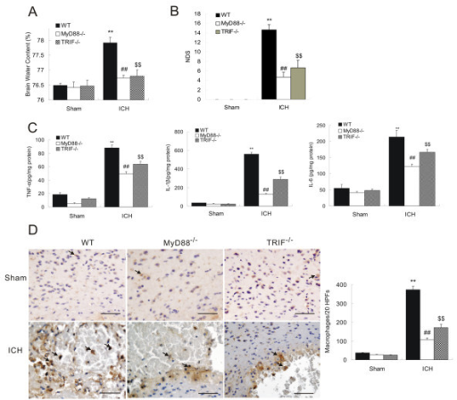 Declined neurologic deficits and inflammation in MyD88 −/− and TRIF−/− mice. Compared to WT mice, both MyD88−/− and TRIF−/− mice had decreased brain water content (A), NDS (B), (C) Both MyD88−/− and TRIF−/− mice showed decreased protein levels of IL-6, TNF-α, and IL-1β, and (D) immunohistochemistry of CD68 showed decreased macrophage infiltration in the perihematoma region of MyD88−/− and TRIF−/− brain on day3 post-ICH. **P < 0.01 vs. sham group; ##P < 0. 01 vs. WT group. $$P < 0.01 vs. WT group, Bar = 50 μM in D. Values (mean ± SD, n = 3 for each group) are representative of three independent experiments.