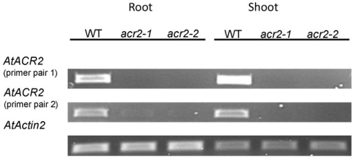 RT-PCR of AtACR2 in wild-type Arabidopsis thaliana and T-DNA insertion lines of AtACR2 gene.