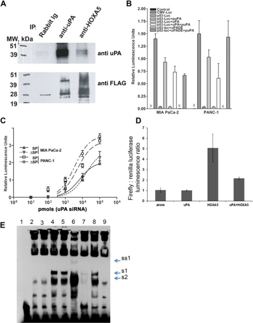 "uPA suppresses p53 promoter activity via binding to and attenuation of the Hoxa-5 function. (A) HEK293 cells were transfected with HOXA5-FLAG in pcDNA3.1 and uPA/pcDNA3.1 vector. Two days after transfection, cells were harvested, and nuclear extracts were prepared using the Novagen NucBuster Protein Extraction Kit. uPA and/or HOXA5 were immunoprecipitated using anti-uPA mouse monoclonal Abs (IMTEK, Moscow, Russia) and rabbit polyclonal anti-HOXA5 Abs (Santa Cruz Biotechnology). Immunoprecipitated proteins were subjected to Western blot analysis. Immunoprecipitated and coimmunoprecipitated uPA and/or HOXA5-FLAG were detected using anti-uPA rabbit polyclonal Abs (389; American Diagnostica, Stamford, CT) and mouse monoclonal HRP-conjugated anti-FLAG M2 Abs (Sigma-Aldrich). (B) MIA PaCa-2 and PANC-1 cancer cells were stably transfected with p53 promoter luciferase reporter plasmid. uPA expression was suppressed with puPA or uPA was overexpressed (uPAOE) in these cells. In parallel, cells were incubated with WT-uPA. p53 promoter activity was determined by measurement of luciferase activity as described in Materials and Methods. (C) MIA PaCa-2 and PANC-1 cells were stably transfected with p53-luc plasmid and sorted to obtain SP and ΔSP cells. uPA was suppressed or overexpressed or added to the cells, and luciferase activity was measured as described. (D) HEK293 cells were cotransfected with p53-luc, uPA/pcDNA3.1+ plasmid encoding human WT-uPA, or HOXA5-FLAG/pcDNA3.1 plasmid encoding C-terminus–tagged HOXA5-FLAG. Empty pcDNA3.1 was used as the negative control, and pRL TK plasmid encoding constitutively expressed Renilla luciferase was cotransfected to normalize the data. Luciferase activity was determined using a Promega Dual Luciferase Reporter Assay Kit. (E) Effect of uPA on DNA-binding capacity of HOXA5. HEK293 cells were transfected either with empty pcDNA3.1 (mock transfected) or with HOXA5-FLAG in pcDNA3.1 alone or in combination with uPA/pcDNA3.1 vector. Two days after transfection, cells were harvested. Nuclear extracts were prepared using the NucBuster Protein Extraction Kit. EMSA reactions were performed using biotinylated, double-stranded, p53 promoter-derived Hoxa-5–specific oligonucleotides. 1, No NE; 2, + mock-transfected NE; 3, + uPA-transfected NE; 4, + HOXA5-transfected NE; 5, + HOXA5-transfected NE + BSA; 6, + HOXA5-transfected NE + scuPA (500 ng); 7, + HOXA5-transfected NE + specific ""cold"" oligo duplex; 8, + HOXA5-transfected NE + scuPA + anti-uPA Abs; 9, + mock-transfected NE + scuPA (500 ng). S1, Probe shift, caused by HOXA5 overexpression; S2, DNA–protein complex, formed in presence of NE from the mock-transfected cells; SS1, probe supershift caused by HOXA5-bound anti-HOXA5 Ab."