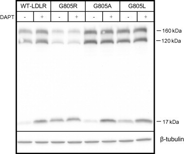 Effect of mutation G805R on the amount of precursor and mature G805R-LDLR. HepG2 cells were transiently transfected with the WT-LDLR plasmid or LDLR plasmids containing mutations G805R, G805A or G805L. The cells were cultured in the presence or absence of the γ-secretase inhibitor DAPT (10 μM). Cell lysates were subjected to Western blot analysis using an antibody against the C-terminal HA tag. The 160 kDa mature LDLR, the 120 kDa precursor LDLR and a C-terminal 17 kDa cleavage fragment are indicated. Beta-tubulin was used as a loading control. One representative of three separate experiments is shown.