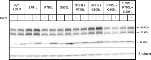 Effect of mutating the alpha helix-destabilizing residues Ser791, Pro795 and Gly805 on γ-secretase cleavage. HepG2 cells were transiently transfected with the WT-LDLR plasmid or plasmids containing one or more of the mutations S791L, P795L and G805R, as indicated. The cells were cultured in the presence or absence of the γ-secretase inhibitor DAPT (10 μM). Cell lysates were subjected to Western blot analysis using an antibody against the C-terminal HA tag. The 160 kDa mature LDLR, the 120 kDa precursor LDLR and a C-terminal 17 kDa cleavage fragment are indicated. Beta-tubulin was used as a loading control. One representative of three separate experiments is shown.