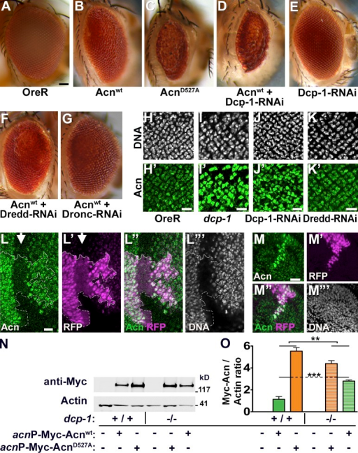 Acn levels and activity is regulated by Dcp-1. (A–G) Micrographs of wild type (A) and eyes in which GMR-Gal4 drives expression of Acnwt (B), AcnD527A (C), Acnwt + Dcp-1–RNAi (D), Dcp-1-RNAi (E), Acnwt + Dredd-RNAi (F), Acnwt + Dronc-RNAi (G). Bar, 50 µm. (H–K′) Micrographs of larval eye discs stained for DNA and Acn (green) from OreR (H and H′), dcp-1 (I and I′), GMR-Gal4, UAS–Dcp-1–RNAi (J and J′), and GMR-Gal4, UAS-Dredd-1–RNAi (K and K′). (L–M″′) Micrographs of eye (L–L″′) and antennal (M–M″′) discs with clones of cells expressing Dcp-1–RNAi marked by RFP and stained for Acn and DNA. Arrow indicates the morphogenetic furrow and the broken line indicates the clone boundary. (N) Western blots of wild type (+/+) or dcp-1 larvae (−/−) expressing Myc-Acnwt or Myc-AcnD527A as indicated. Blots were probed for Myc or Actin. (O) Quantification of blots (n = 3) as shown in N. Bars: (H–M) 10 µm. Detailed genotypes and roughness quantification are given in Tables S1 and S2. Error bars show means ± SD. **, P < 0.01; ***, P < 0.001.