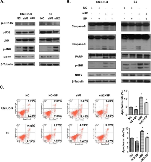 The involvement of JNK and NRF2 pathway in apoptosis induced by AATBC knockdownA. 36 hours after transfection, levels of JNK, p-JNK, p-p38, p-ERK1/2 and NRF2 were determined by Western blotting analysis. β-tubulin served as loading control. B. Indicated cell lines were treated with transfection and SP600125 for 36 hours. The levels of p-JNK, NRF2, caspase-9, caspase-3 and PARP were evaluated. β-tubulin served as loading control. C. 36 hours after treatment of transfection and SP600125, flow cytometric analysis showed that JNK inhibitor SP600125 could protect UM-UC-3 and EJ cells from apoptosis. Data was represented as means ± SD. *P <0.05 (vs. control).