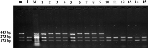 Restriction patterns fromSacI digested ZFY/ZFX-PCR products of primary satellite cells samples. Lane m and f are male and female blood samples, respectively; lane M is 50 bp DNA ladder; lanes 1–9 are PCR products of male cells samples; lanes 10–15 are PCR product of female cells samples. The ZFY fragment remained uncut while the ZFX homologue (which is present in both male and female cells) was digested to give fragments of 172 and 273 bp.