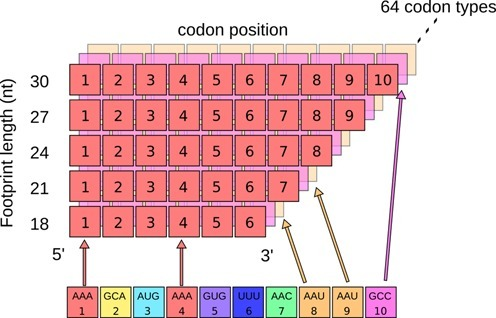 Statistical analysis of footprint codon composition. We count how many times each type of codon occurs in ribosome footprints, while keeping track of the position within the footprint as well as the length of the footprint. This information is stored in a matrix, where the color represents a type of codon and the number is the positioning away from the 3′ end of the footprint.