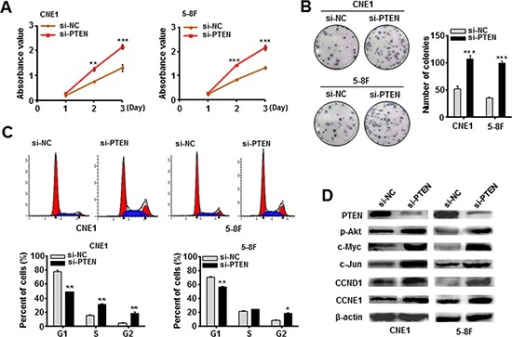 Knockdown of PTEN mimicked the EBV-miR-BART7-3p-induced phenotype in NPC cells(A, B) Cell growth and proliferation ability was detected by MTT assay and in colony formation assay in CNE1 and 5-8F cells following the treatment of siRNA against PTEN (si-PTEN for short) or si-NC (Control). Data were shown as the mean ± SEM (**P < 0.01, ***P < 0.001). (C) The cell-cycle transition from G1 to S and G2 was evaluated by the flow cytometry after PTEN was silenced in vitro. Data were shown as the mean ± SEM (*P < 0.05, **P < 0.01). (D) The expression levels of PTEN, p-Akt, c-Myc, CCND1 and CCNE1 were analyzed by western blot in indicated cells after treated with si-PTEN. β-actin is internal control.