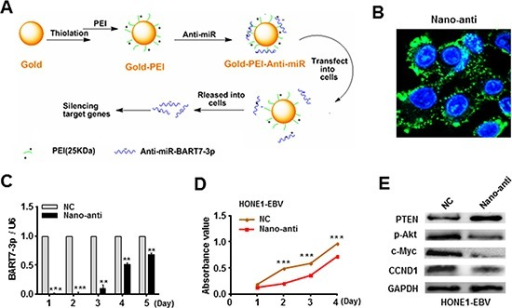 Silencing of EBV-miR-BART7-3p reduced the in vitro growth of EBV-positive NPC cells(A) A layer-by-layer method was applied to prepare gold-PEI nanoparticles carrying anti-miRNA. (B) The transfection efficiency of nanoparticles carrying anti-miRNA was evaluated by confocal microscopy at cellular level. (C) The inhibition efficiency of nano-anti-miR in HONE1-EBV cells was evaluated by qPCR in different time points. Data were shown as the mean ± SEM (**P < 0.01, ***P < 0.001). (D) Cell growth ability was evaluated by MTT assay in HONE1-EBV cells after transfected with anti-miR or anti-C. Data were shown as the mean ± SEM (***P < 0.001). (E) The expression levels of PTEN, p-Akt, c-Myc and CCND1 were analyzed by western blot in HONE1/EBV cells after transfected with anti-miR or anti-C. β-actin served as an internal control.