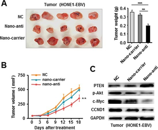 Therapeutically Silencing of EBV-miR-BART7-3p inhibited tumorigenicity of EBV-positive NPC cells in vivo(A) The in vivo effectiveness of nano-anti-miR was evaluated in xenograft mouse models bearing tumors originating from HONE1-EBV cells. (B) The tumor volume was periodically tested for each mouse and tumor growth curve was plotted. Data were shown as the mean ± SEM (**P < 0.01, ***P < 0.001). (C) The expression of PTEN, p-Akt, c-Myc and CCND1 was analyzed by western blot in the tumor tissues derived from therapeutic and control models respectively. β-actin served as an internal control.