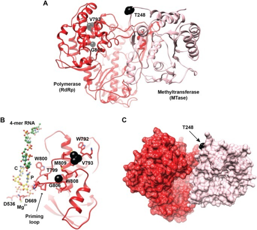 Location of the mutation sites associated with altered fidelity in WNV NS5.A. Shown are the crystal structures of the N-terminal methyltransferase domain (MTase, colored pink; PDB 2OY0) and the C-terminal polymerase domain (RdRp, colored red; PDB 2HFZ) of the NS5 protein from WNV. The relative positioning of the two domains was based on the crystal structure of the full length NS5 protein of DENV (PDB 4V0R). The protein is represented as ribbon and the identified mutants (T248, V793, and G806) are represented as black spheres. The amino acids V793 and G806 are located in the priming loop that is part of the thumb subdomain. B. The initiation model of WNV RdRp showing the thumb subdomain of the polymerase, rotated 180° compared to the view in A, a 4-mer RNA extracted from the ɸ6-RdRp (PDB 1HI0, green carbon atoms), rNTP modeled at the priming site (P) and the catalytic site (C) based on the complex structure of HCV RdRp (PDB G1X5, yellow carbon atoms), and the active-site aspartates D636 and D669 with the bound catalytic Mg2+ ion. The substitutions, V793I and G806R, are expected to impact the interactions of the nearby residues of the priming loop, including W792, T799, W808, and M809. Disruption of these interactions would affect the dynamics of the priming loop, including the conformational change of W800 that is suggested to be required for stabilizing the initiation complex. C. the MTase and polymerase domains shown in (A) are rendered as pink and red surfaces, respectively, to emphasize the expected large interface between the two domains. Residue T248 is colored black; substitution of this residue by an isoleucine could impact the interface between the two domains of NS5 structure. The figure was prepared using program CHIMERA.