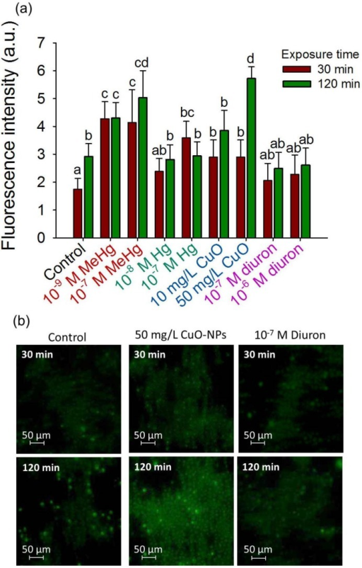 2D-cell array sensing of oxidative stress during short-term exposure to contaminants. (a) Mean corrected CellROX® fluorescent intensity (CF) for different contaminants; Different letters indicate significant differences between means (p < 0.05, Student-Neuman-Keuls test); (b) Fluorescence microscopy of the CellROX® stained cells collected in 2D-assembly by positive DEP in the absence of contaminant (control), presence of 50 mg/L CuO-NPs and 10−7 M diuron; Exposure time of 30 min and 120 min.