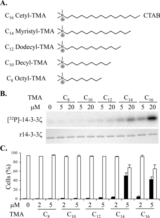 A. Structures of the trimethylammonium (TMA) compounds assessed for 14-3-3 modulating activity. B. Phosphorylation of 14-3-3 by PKA in vitro in presence or absence of TMA compounds at the concentrations shown. The upper panel is [32P]-phospho-labeled 14-3-3ζ and the lower panel is Coomassie stained 14-3-3 protein. C. Effect of TMA compounds on Jurkat cell after 20 h treatment at the concentrations shown. Cell viability is shown in open bars and TMRE negative staining cells are shown in black bars. The error bars show the range of duplicate determinations: and the results are representative of multiple experiments.